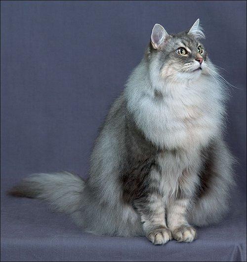 Blue Tabby Norwegian Forest Cat