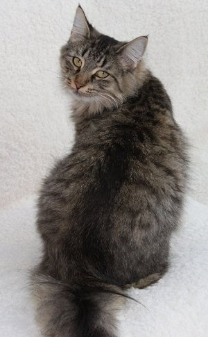 Norwegian Forest Cat Colours| Norwegian Forest Cat Society UK Tabby Norwegian Forest Cat