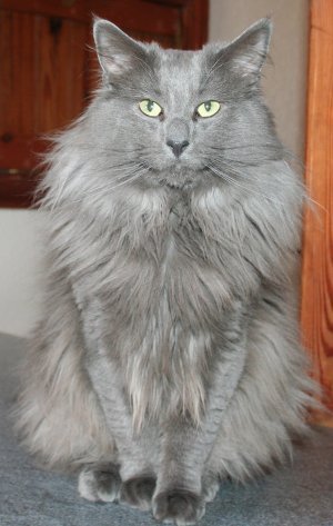 Norwegian Forest Cat Colours Norwegian Forest Cat Society Uk