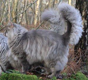 Norwegian Forest Cat Colours Norwegian Forest Cat Society Uk