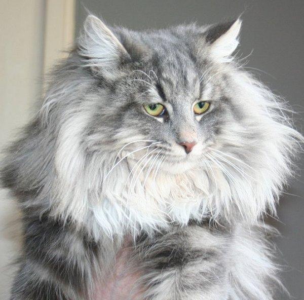 chinchilla kedisi ile ilgili görsel sonucu